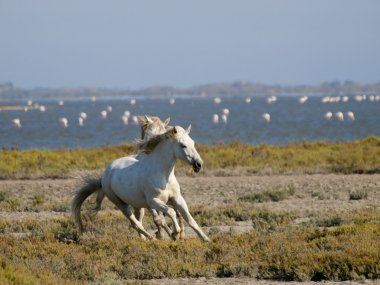 Galloping white horses with flamingos in the back in France
