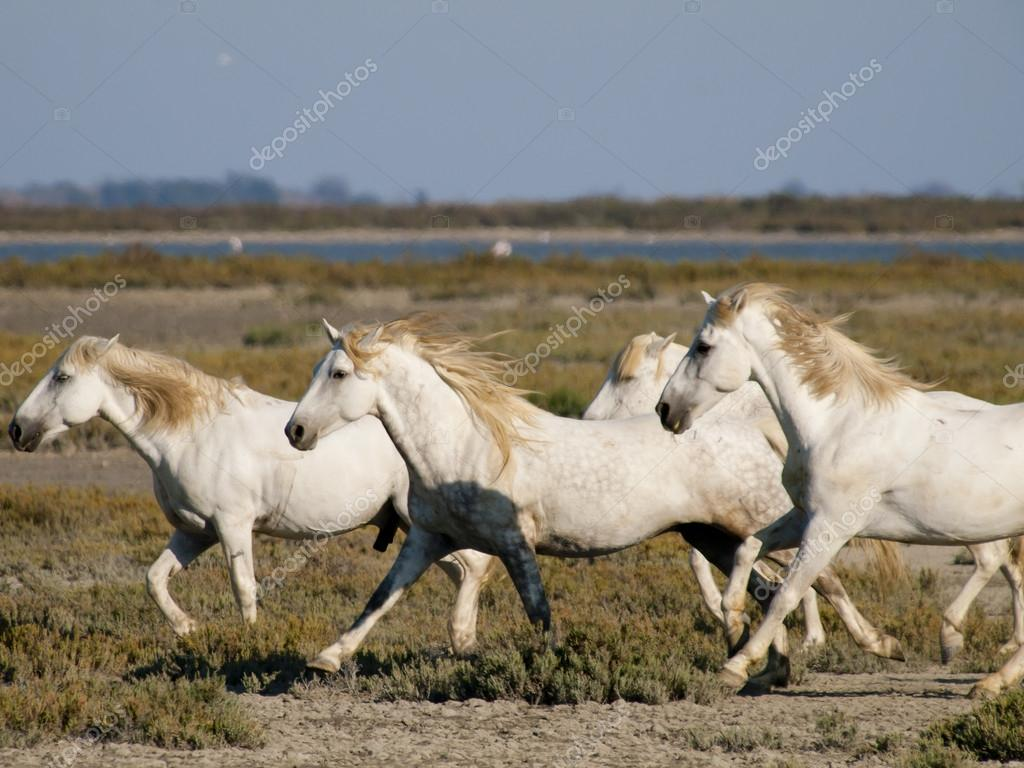 Galloping white horses with flamingos in France
