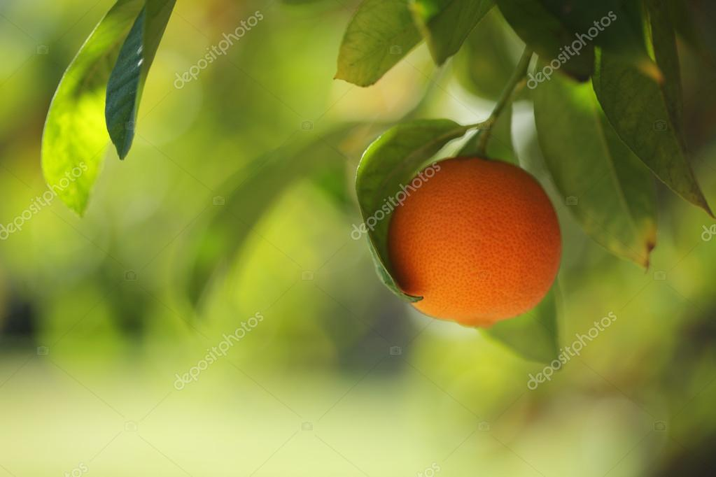 Orange fruit growing