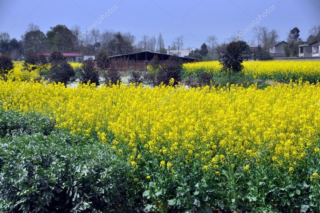 pengzhou chine champs de fleurs jaune colza. Black Bedroom Furniture Sets. Home Design Ideas