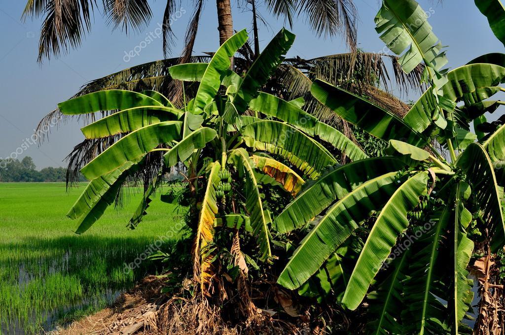 バナナの木とサラブリー県、タイ...