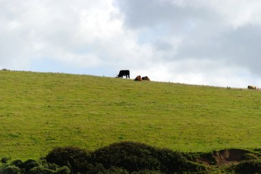 Cows in Port Isaac