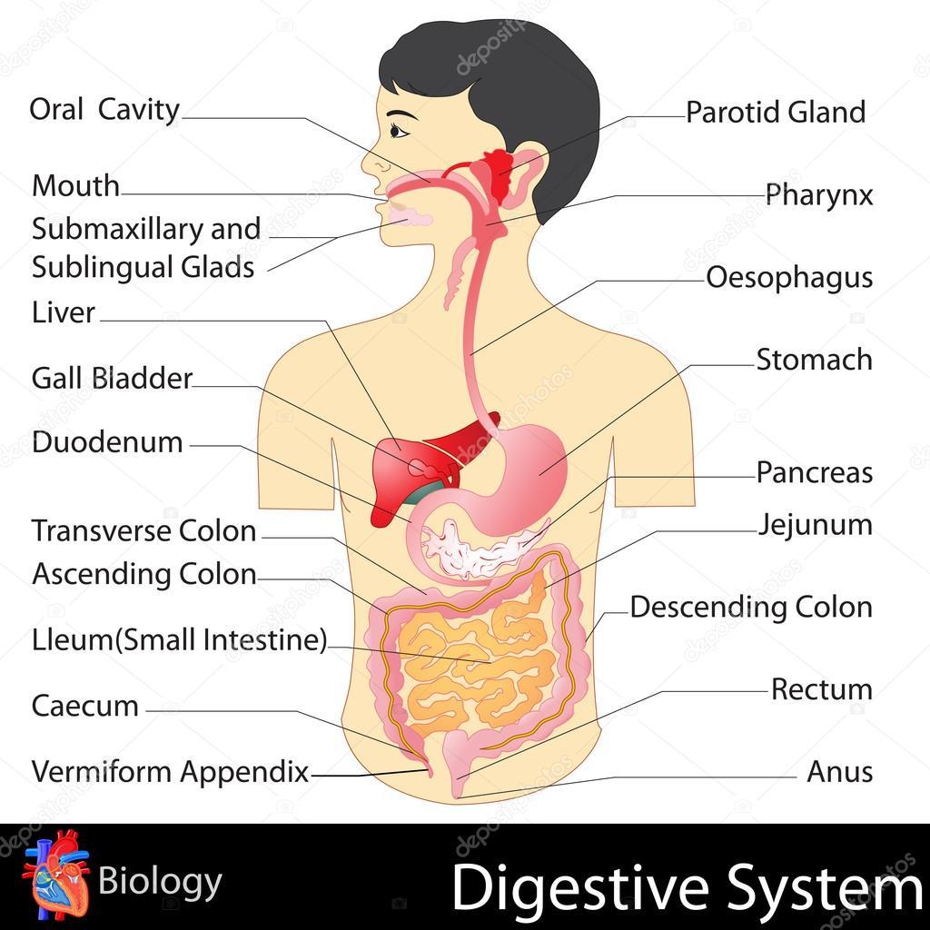 sistema digestivo — Vector de stock © snapgalleria #42501023
