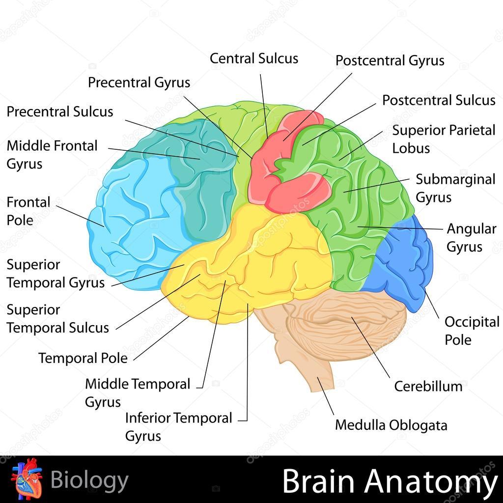 Gehirn-Anatomie — Stockvektor © snapgalleria #42501135