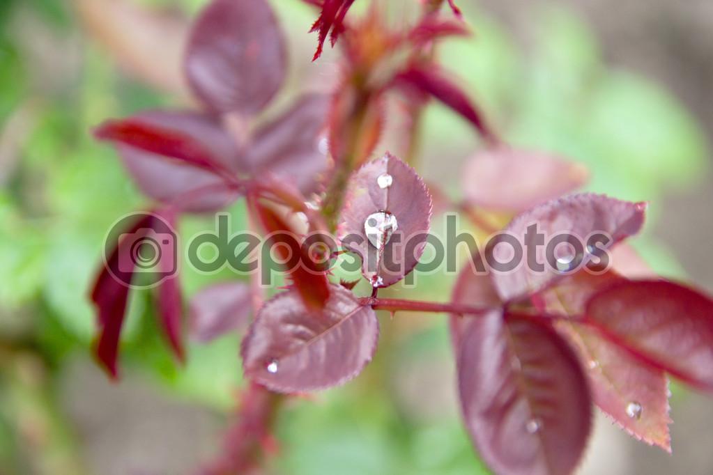 Waterdrop on Red Leaf