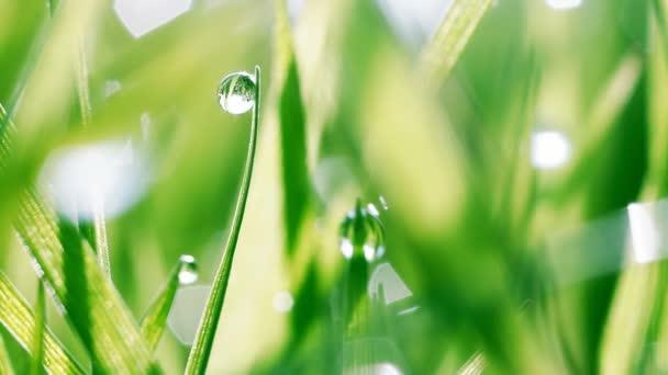 Dew kapky na zelené trávě