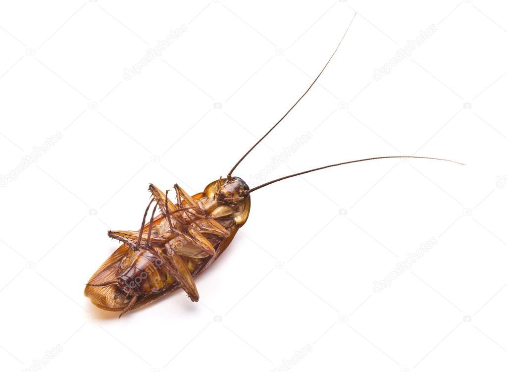 tote kakerlake isoliert auf wei em hintergrund gruselig ekel insekt im haus k che stockfoto. Black Bedroom Furniture Sets. Home Design Ideas