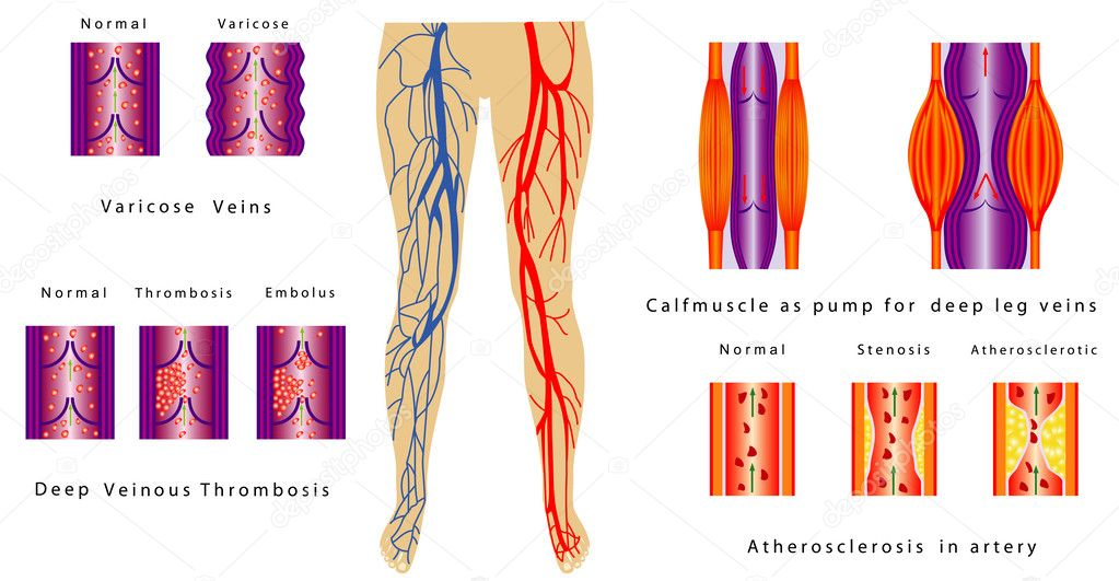 Gefäßsystem Beine — Stockvektor © anutuno #33324767