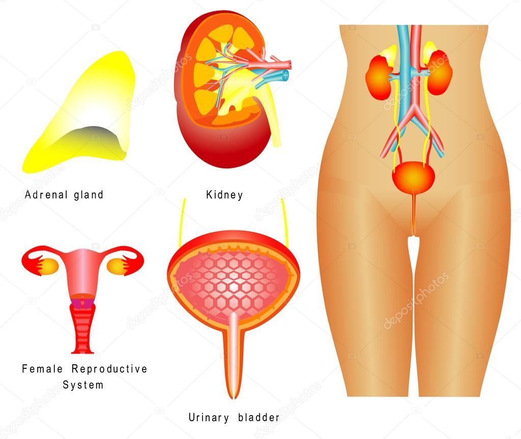 sistema urinario — Archivo Imágenes Vectoriales © anutuno #33415703