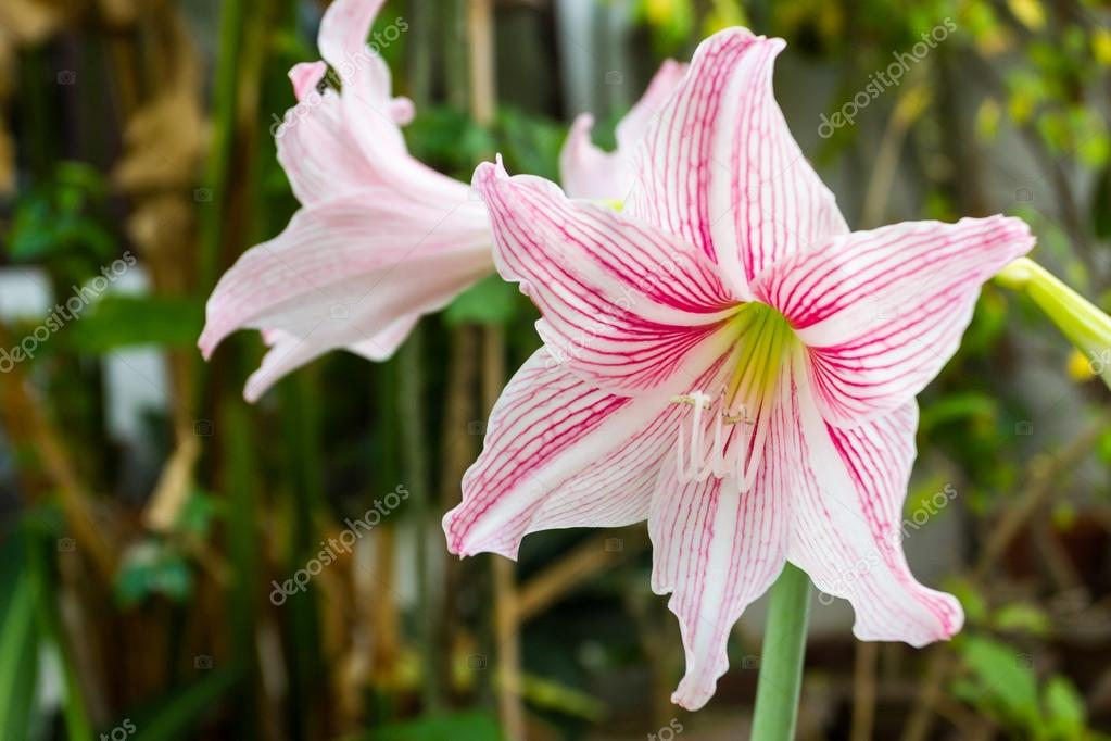 Fleur amaryllis rose et blanc photographie amnachphoto for Acheter amaryllis