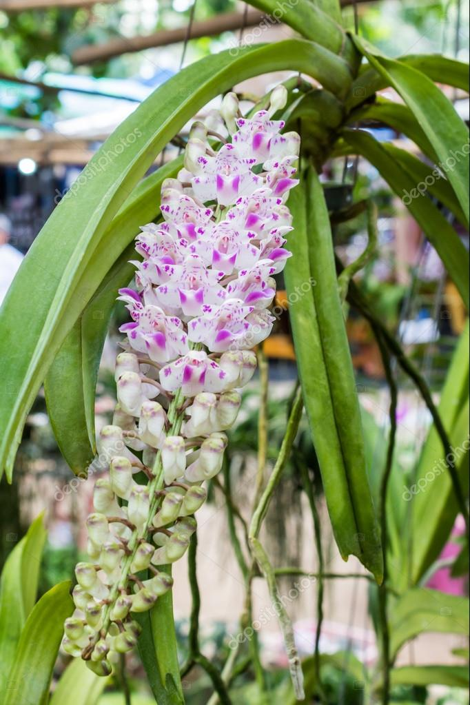 Pink orchid flower blooming, tropical plants, Rhynchostylis retu