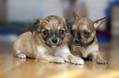 Fotografia due cuccioli di chihuahua piccoli sdraiato sul pavimento