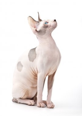 Canadian Sphynx cat on white background looking up