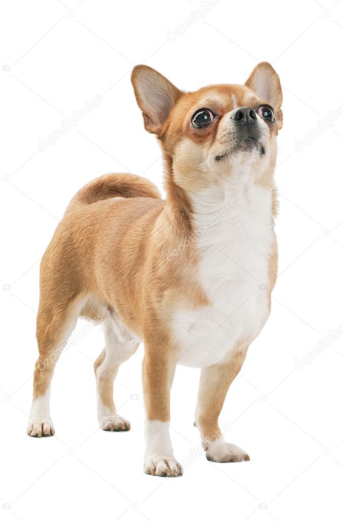 r d med vit chihuahua hund m stare av rasen stockfotografi niknikpo 35814213. Black Bedroom Furniture Sets. Home Design Ideas