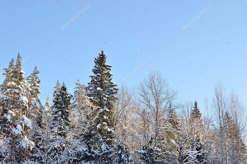 Winter forest landscape against blue sky