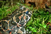 Fotografia rana europeo in terrario