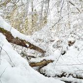foresta coperta di neve