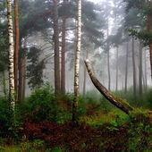 Severní Les v mlze. Lotyšsko