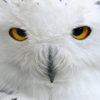 White polar owl close-up