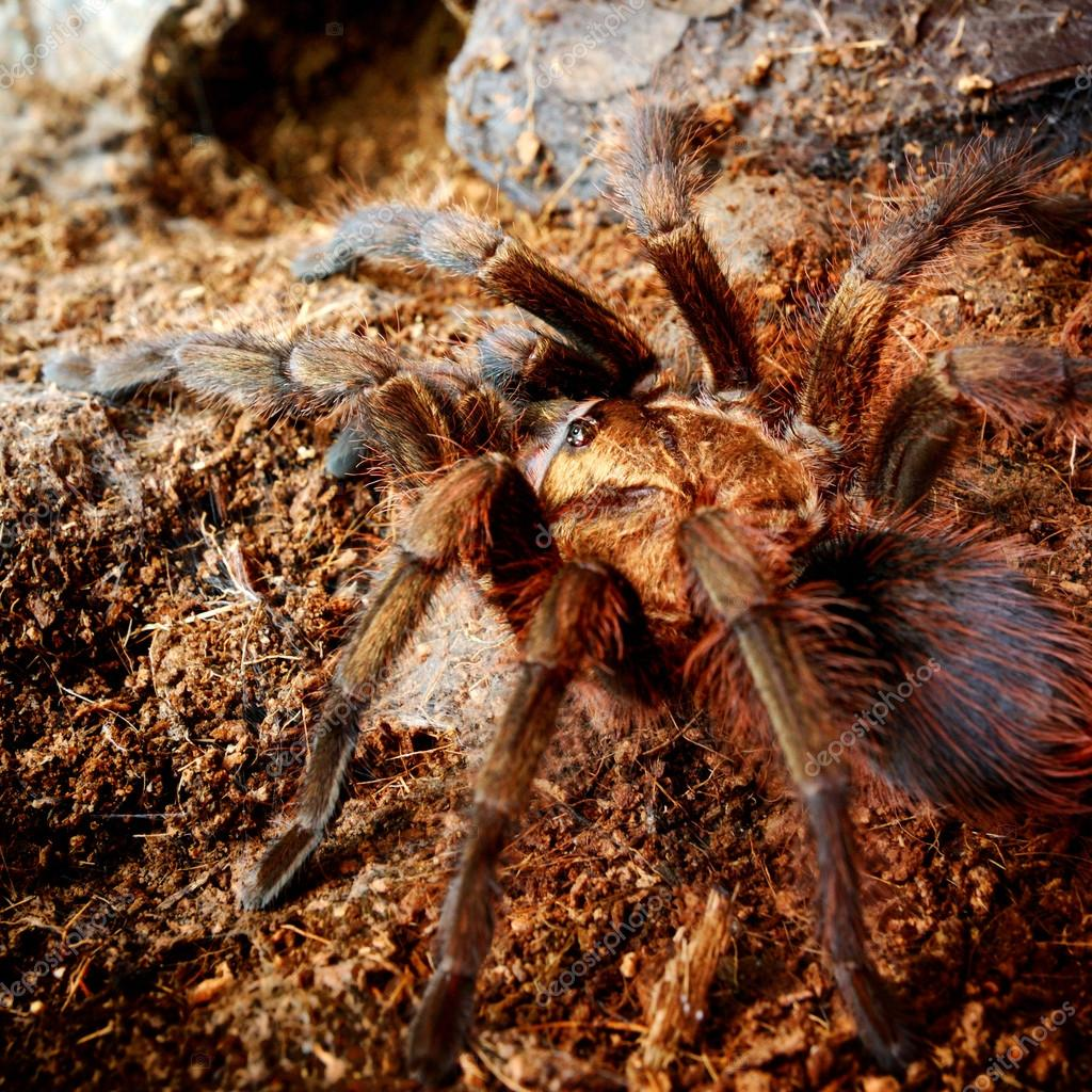 American Desert Tarantula Phormictopus Platus In Natural Environment Stock Photo C Alex Stemmer 32832329