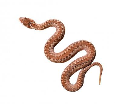 Common viper snake
