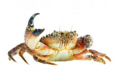 Warty crab Eriphia verrucosa