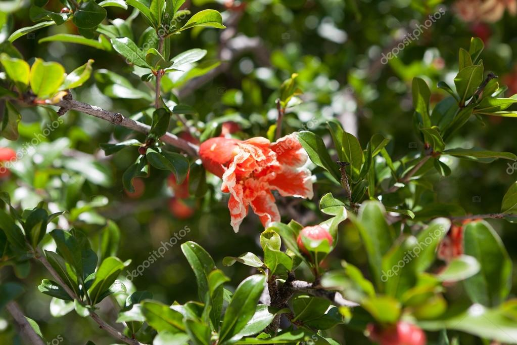Pomegranate flower.