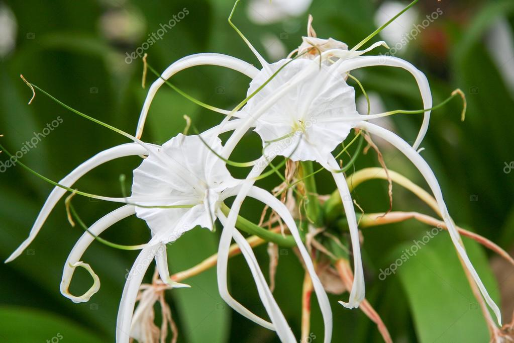 crinum lily cape lily poison bulb spider lily stock photo