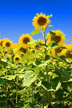Sunflowers against deep blue sky stock vector