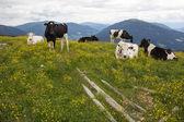 stádo krav mezi poli žluté květy