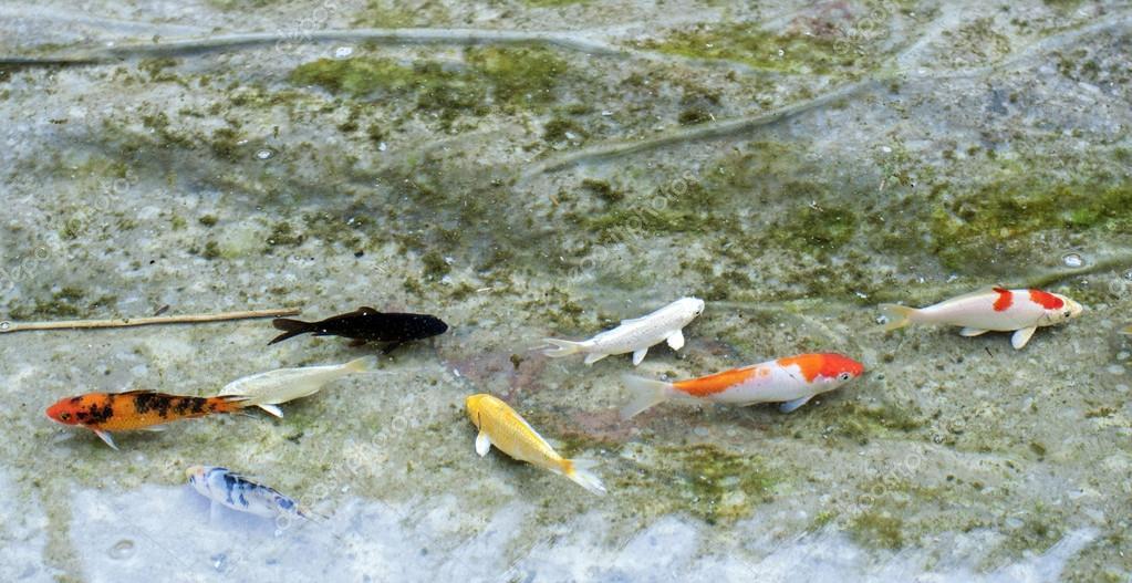 small koi fish
