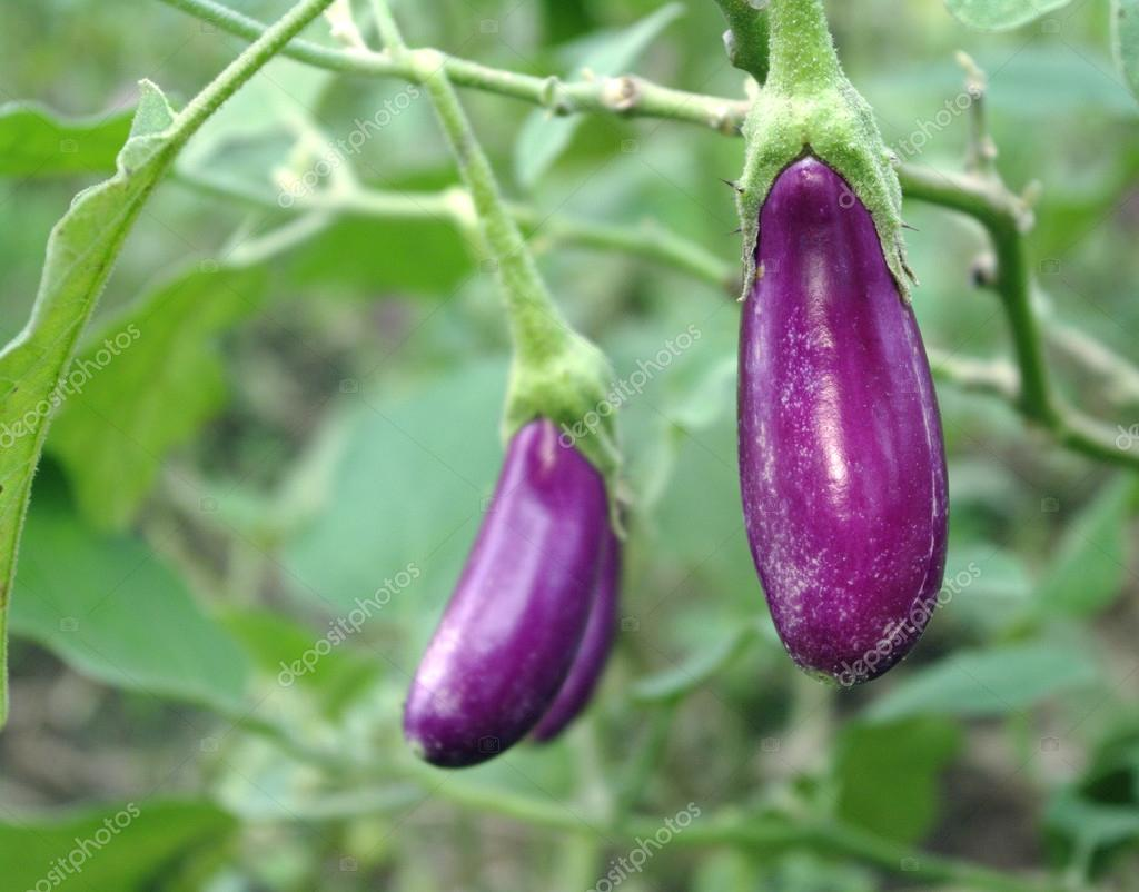 Eggplant garden vegetable