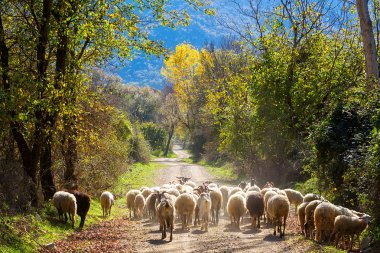 Sheep traffic on the road between autumn trees stock vector
