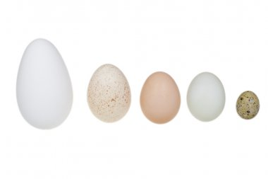 A goose egg, duck egg, hen egg, turkey egg and a quail egg. Stil