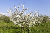 a mezőt virágzó cseresznye fák, fehér virágok