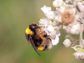 Čmelák sání pylu