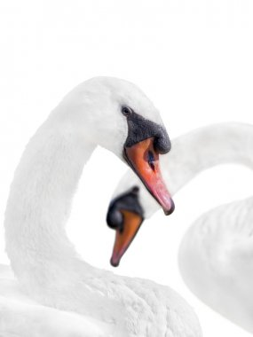 Couple of white swans, isolated