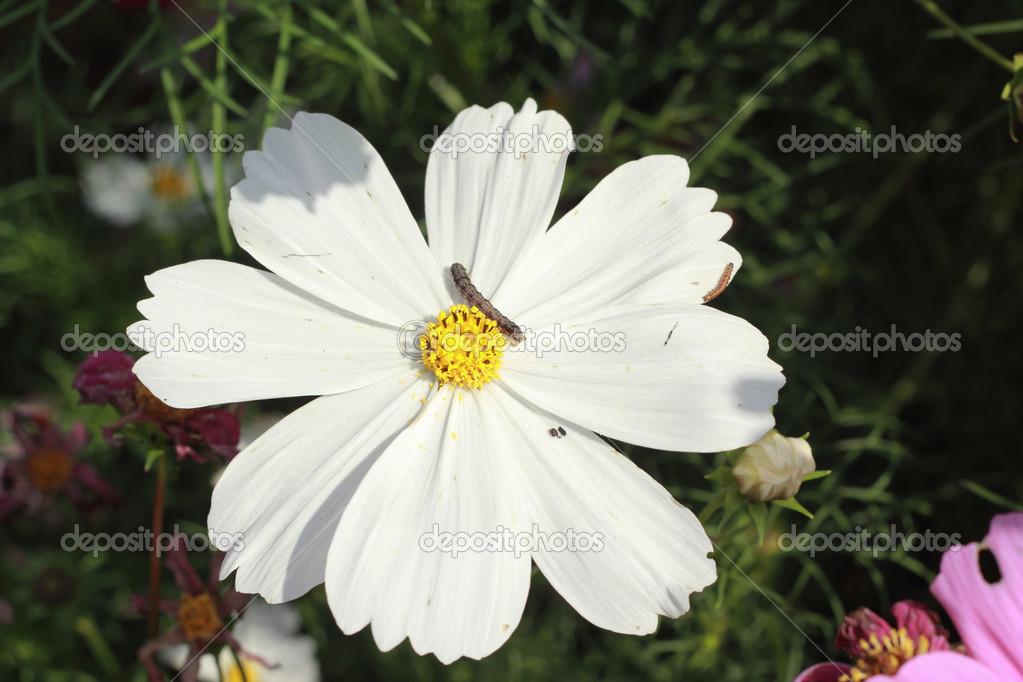 White Cosmos Flower In The Garden Stock Photo Seagamess 39682249
