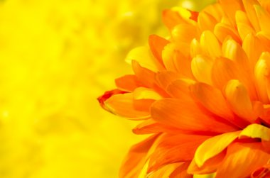 Orange chrysanthemum detail