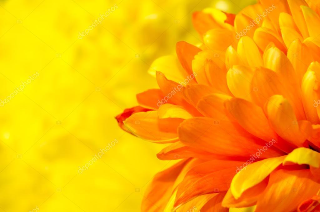 orange chrysanthemum detail