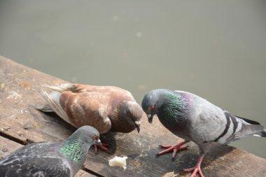 Flock of pigeons eating bread crumbs on wood floor at floating market ,Thailand