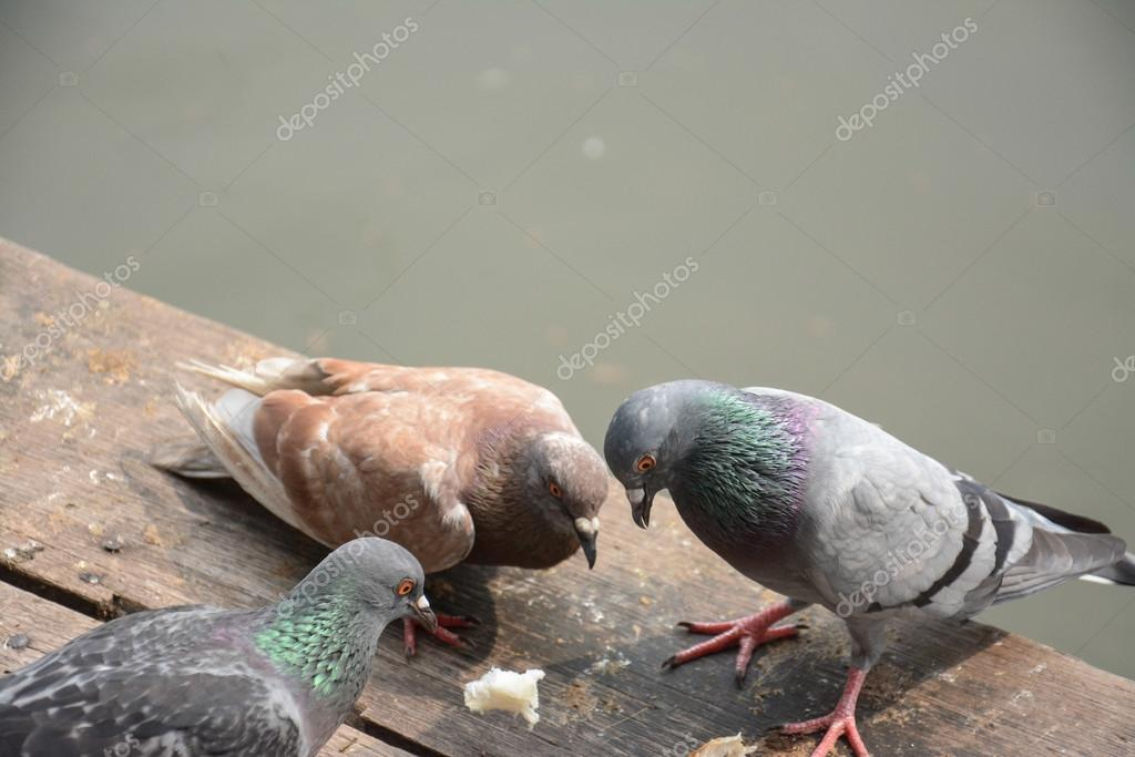 Flock of pigeons eating bread crumbs on wood floor at floating market ,Thailand