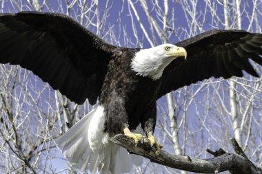 """Картина, постер, плакат, фотообои """"лысый орлан """", артикул 33714235"""