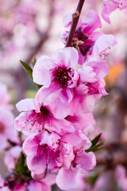 Peach Orchards in Spring Bloom