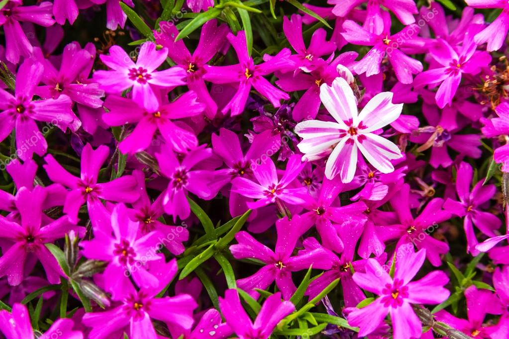 Blooming Pink and White Phlox Flowers