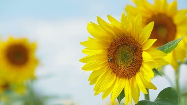 Slunečnice kymácí
