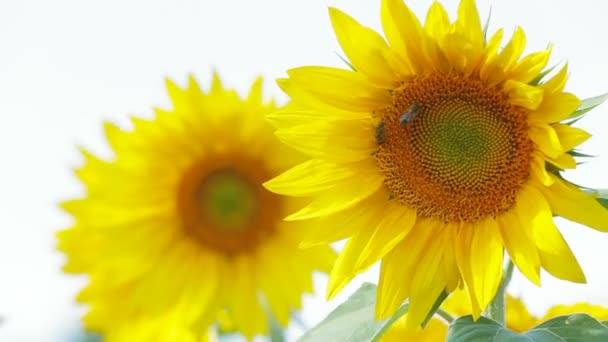 slunečnice a včely