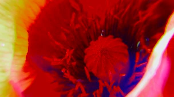 Poppies macro