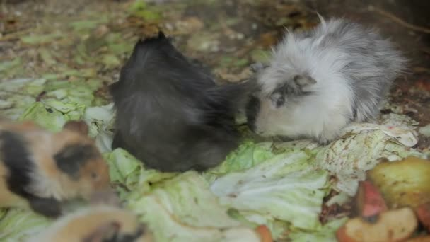 Guinea pig in the zoo