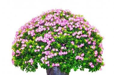 The big giant azalea